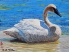 Trumpeter Swan , Wooden Box
