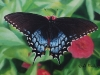 Eastern Tiger Swallowtail (Black Phase)