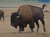 Gros Ventre Bison II