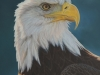 Look of Dominance, Bald Eagle