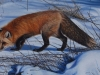 Scents in the Snow, Red fox