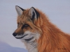 Snowbound, Red Fox