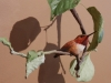 Napoleon Complex Rufus Hummingbird